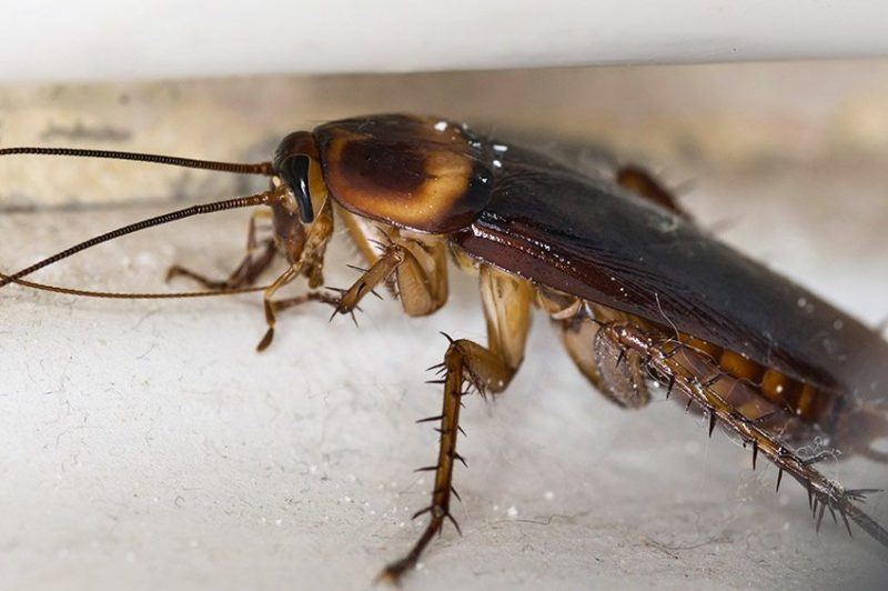Scottsdale Cockroach removal