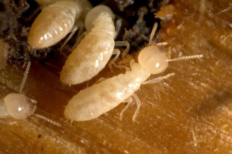 Termite Treatment Scottsdale
