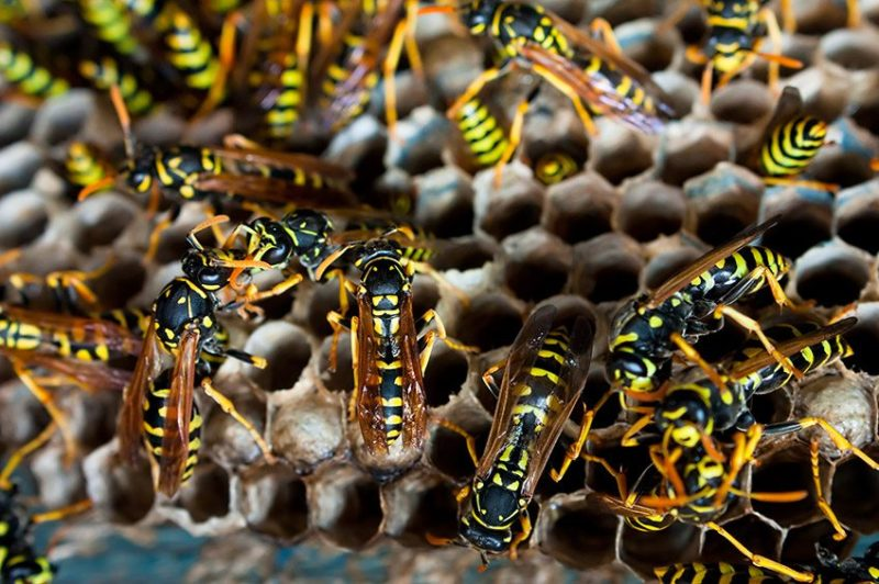 Wasp, Hornet and Yellowjacket Removal Scottsdale