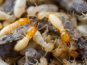 Types of Termites in Arizona